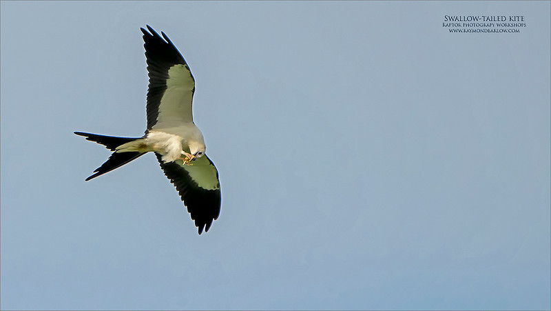 Swallow-tailed kite<br /> <br /> We headed west early this am, to seek out this beauty in the farm country of Southwestern Ontario.  About an hour wait before it showed up, and the imaging began.  <br /> <br /> During its flights, and hunting process, it kept a fair distance from us, also covering a lot of acreage during the flight plan.<br /> <br /> So, we had fun keeping up with it, and trying to get mostly flight shots.  We did see it perch a few times, eating and preening, but the excitement was in the air.<br /> <br /> We had tough light and mostly white backgrounds left me with high key images.  Exposures were not easy!  I think I was a little careless with the ISO, as I am sure a 640 setting would have been fine, <br /> <br />  All my images will be heavy crops, and tough recoveries. <br /> <br /> Another day in paradise, loving real nature.