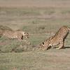 Cheetahs at Play Series 12 Shots  - Image 12-12