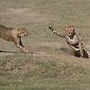 Cheetahs at Play Series 12 Shots  - Image 8-12