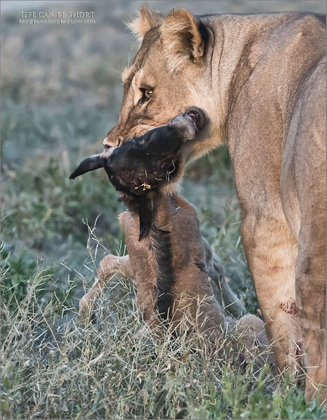 Nature is tough, and the strong survive.<br /> <br /> From 15 yards, my guests and I watch this 300 pound lion munch a 4 day old wildebeest, dead in seconds... but like any smart cat she decided to have some fun.<br /> <br /> Giving the young wildebeest a false scenes of hope, she let it go for periods of time (5-10 seconds) at a time, but not allowing it to go far .. a good game of cat and mouse? Finally, after a few swats, and whines from the wee one, life ended, as <br /> another life continues.<br /> <br /> Real wildlife drama, so amazing that we saw three live kills during this tour in February.<br /> <br /> Best regards. <br /> <br /> Nikon D850 ,Nikkor 200-400mm f/4G ED-IF AF-S VR<br /> 1/320s f/5.6 at 400.0mm iso2000