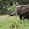Elephant Feeding Time - Trunk up!<br /> Tanzania, Africa<br /> <br /> Ray@raymondbarlow.com<br /> Nikon D850 ,Nikkor 200-400mm f/4G ED-IF AF-S VR<br /> 1/160s f/4.0 at 400.0mm iso500