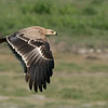 A heavy crop with this Tawny eagle in flight image, pushing the limits of the a9 + 200-600 image files.<br /> <br /> Beautiful bird, so I thought it was worth sharing.<br /> <br /> Thanks for looking!