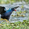 Purple Gallinule Chasing<br /> Raymond Barlow Photo Tours to USA - Wildlife and Nature<br /> <br /> ray@raymondbarlow.com<br /> Nikon D810 ,Nikkor 600 mm f/4 ED<br /> 1/2500s f/4.0 at 600.0mm iso800