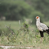 Secretarybird - Tanzania's National Bird<br /> Raymond Barlow Photo Tours to Tanzania Wildlife and Nature<br /> <br /> ray@raymondbarlow.com<br /> Nikon D850 ,Nikkor 200-400mm f/4G ED-IF AF-S VR<br /> 1/500s f/4.0 at 360.0mm iso500
