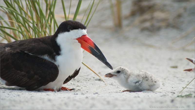 "Black Skimmer and Chick<br /> RJB USA Tours<br /> <br />  <a href=""http://www.raymondbarlow.com"">http://www.raymondbarlow.com</a><br /> Canon EOS 70D ,Swarovski Spotting Scope 95mm<br /> 1/400s f9.5 iso200"