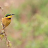 Little Bee-eater<br /> RJB Tanzania, Africa Tours<br /> <br /> ray@raymondbarlow.com<br /> 1/125s f/8.0 at 400.0mm iso320
