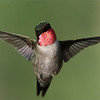 Well, at least the head is in focus!  At about 6 feet, it's tough to get this tiny bird face on and sharp.  worth a try.<br /> <br /> Ruby-throated Hummingbird in Flight<br /> Ontario, Canada<br /> <br /> rsy@raymondbarlow.com<br /> Nikon D850 ,Niko 200-400mm f/4G ED-IF AF-S VR<br /> 1/8000s f/6.3 at 340.0mm iso6400