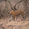 Royal Bengal Tiger Marking Territory<br /> RJB India Photo Tours<br /> <br /> ray@raymondbarlow.com<br /> Book your Tiger Photo Tour group with me!<br /> 1/1600s f/4.0 at 400.0mm iso1600