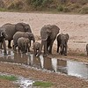 A family of Elephants make their way along a dried up river bed to find fresh <br /> vegetation and water before heading back out to the plains of the Tarangire National Park. <br /> <br />  They actually combined forces with another close by herd of elephants, to chase off a pride of lions!  you can see how they are protecting their young keeping them close with warning calls that we could hear.<br /> <br /> Amazing nature!<br /> <br /> Elephant Family<br /> Tanzania, Africa<br /> <br /> ray@raymondbarlow.com<br /> Nikon D800 ,Nikkor 200-400mm f/4G ED-IF AF-S VR<br /> 1/640s f/6.3 at 105.0mm iso800