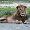 Male Lion - Tanzania