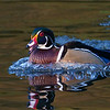 A very handsome male being chased away from the ladies!<br /> <br /> Wood duck on the run.<br /> <br /> Southern Ontario, Canada.