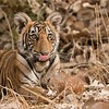 Tiger cub - India<br /> <br /> <br /> A wild Tiger cub posing in India.  An amazing moment, this very young, and confident cub left the adult female and trotted over to our jeeps location to see close up what the heck we were doing!<br /> <br /> The cub stayed put for about three minutes, posing like a model, then was called back to the family.  We were very lucky to have all 4 tigers within 20 yards of us for about 1 hour.<br /> <br /> To me, these tigers are easily the most superb looking creature we have on our planet.<br /> <br /> ray@raymondbarlow.com<br /> Nikon D810 ,Nikkor 200-400mm f/4G ED-IF AF-S VR<br /> 1/400s f/7.1 at 360.0mm iso800