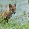 Fox Kit Hunting<br /> Raymond's Ontario Photography Tours<br /> <br /> To see Nature with Respect helps heal the Soul.<br /> <br /> ray@raymondbarlow.com<br /> Nikon D810 ,Nikkor 200-400mm f/4G ED-IF AF-S VR<br /> 1/1000s f/6.3 at 400.0mm iso2000