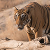"Every Wildlife Photographers Dream:<br /> <br /> To capture an image of a wild Royal Bengal Tiger.<br /> <br /> Many thanks to the good people of India for protecting these cats as well as they have.  Lets hope we can venture into these forests, and find Tigers for many generations to come.<br /> <br /> We had this Tiger - ""Sultan""  T-79 for at least 2 full hours before he disappeared in to the thick forest. Anticipating his moves 4 times during this shoot was the key to our success.<br /> <br /> He is superb.  Totally indifferent to the people and the jeeps trying to catch a glimpse.  This cat is the boss.. with such an attitude, that is hard to imagine from a wild creature.<br /> <br /> We had so much fun on this tour... I would go back tomorrow if I could!<br /> A big thanks to great friend Thomas Vijayan and my new friend Ravindra Jain - these buddies really made this tour a special experience for myself and my guests.<br /> <br /> So, back to work here in Canada -  a Raptors in Flight workshop on Saturday!<br /> <br /> Best wishes to you, thanks for reading this far, thanks for the comments and shares.<br /> <br /> Have a good weekend.<br /> <br /> Royal Bengal Tiger<br /> RJB India Tours<br />  <a href=""http://www.raymondbarlow.com"">http://www.raymondbarlow.com</a><br /> 1/640s f/8.0 at 330.0mm iso640"