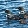 Loons and Chicks - Photo by Maria Barlow<br /> Raymond's Ontario Nature Photography Tours<br /> <br /> Amazing night last night, My 3 guests out on the lake with Maria (my daughter (11 yrs old) using my  D800 + 80-200 mm lens.  These loons let us drift in so close, unreal.. at one point the swam towards us, less then 6 feet! <br /> <br /> Can't wait to go back, Booking groups of 3 max.<br /> <br /> ray@raymondbarlow.com<br /> <br /> <br /> ray@raymondbarlow.com<br /> Nikon D800 ,Nikkor 200-400mm f/4G ED-IF AF-S VR<br /> 1/1600s f/7.1 at 100.0mm iso1000