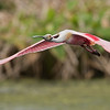 Roseate Spoonbill in Flight<br /> Raymond Barlow Photo Tours to USA - Wildlife and Nature<br /> <br /> ray@raymondbarlow.com<br /> Florida Tours<br /> Nikon D810 ,Nikkor 600 mm f/4 ED<br /> 1/2000s f/6.3 at 600.0mm iso1000