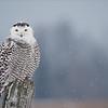 Snowy Owl in a Snow Storm<br /> Raymond's Ontario Nature Tours<br /> <br /> *Snowy Owl * Adventures*<br /> ray@raymondbarlow.com<br /> Nikon D810 ,Swarovski Spotting Scope 95 mm- 1370mm Eff.<br /> 1/640s f/9.5 iso250