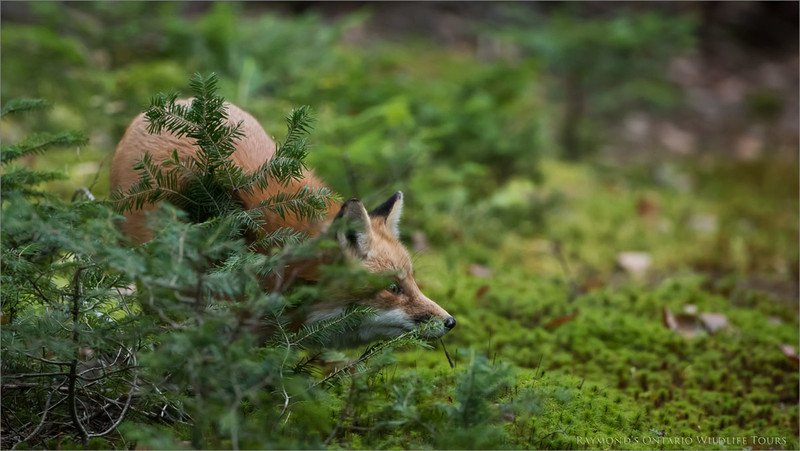 Red fox Hunting<br /> Raymond's Ontario Nature Photography Tours