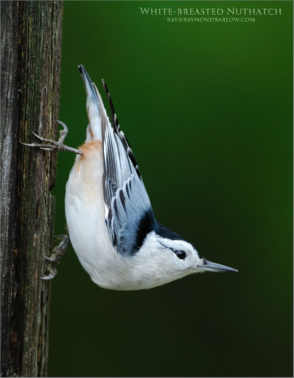 White-breasted Nuthatch 1