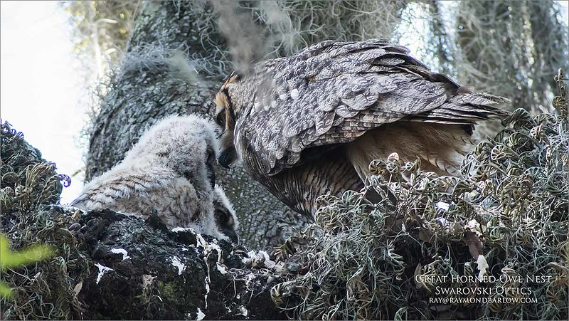 Great Horned Owl nest, East Florida.<br /> Packing soon, as we head home late tomorrow pm, we had lots of fun here this week., Love Florida!<br /> <br /> Hoping for a return trip in late April.<br /> Swarovski Optic + D850.