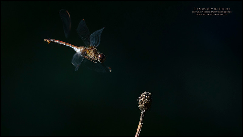 Difficult!<br /> <br /> Thanks to my friend, John Green, for showing me this cool dragonfly infested location!<br /> <br /> But this is always fun.  The light and location made things challenging, so I was lucky to catch one shot of this beauty coming in for a landing.<br /> <br /> Interesting how there is an odd piece of wing behind the dragonfly.  The A7r4 seems to have this issue with a hummingbird in flight shot once in a while.  I really cannot explain it.<br /> <br /> So, I was shooing uncompressed raw files, with the crop sensor turned on.  This gives me 900 mm @ f6.3. The image file size is still a good 51 MB., and very useful.<br /> <br /> I did bump up the f-stop to f9, to create more sharpness and depth of field.<br /> <br /> With this scene, I backed up the lens to 717 mm equivalent.   I was lucky to have a background in the shade, so the subject really stands out.  1/1600 of a second shutter speed was just enough to freeze the wings.<br /> <br /> In hindsight, I was kicking myself for not using the A9 camera, at 3200 ISO for more shutter speed, and about the same amount of noise,  with the bonus of 20 frames per second. <br /> <br /> Can't think of everything!