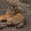 """Tiger Photo tours!<br /> <br /> Amazing sightings, and excitement here in India.  We leave for another park tomorrow, so far so good!<br /> <br /> What a spectacular animal!<br /> <br /> Royal Bengal Tiger<br /> RJB India Tours<br />  <a href=""""http://www.raymondbarlow.com"""">http://www.raymondbarlow.com</a><br /> 1/250s f/6.3 at 400.0mm iso640"""