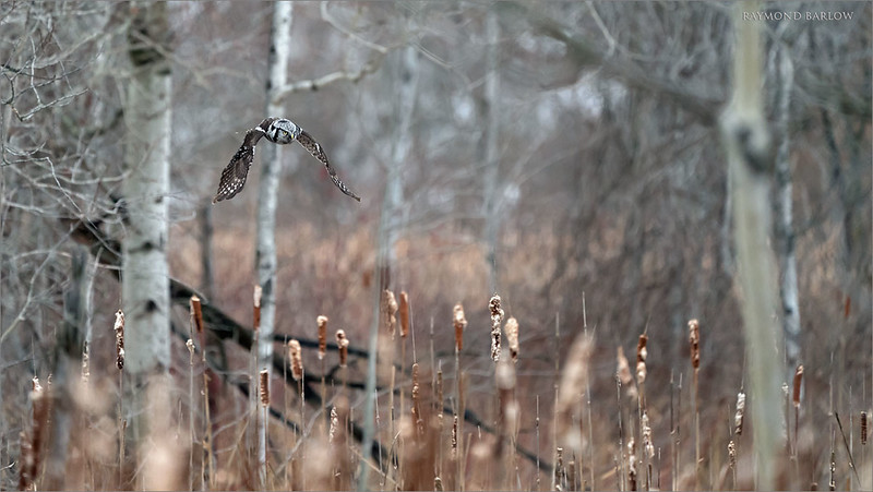 "After 20 minutes or so of working in his ""refrigerator"", the hawk owl emerges with a nice flight across the marsh to hunt for another vole.<br /> <br /> A few minutes later he dives right into the thick of the bulrush, and comes out with a nice fat vole.  Another awesome real nature experience today, Jan 26, 2020.  Images soon!<br /> <br /> Thanks to Harry Hersh for joining me once again in the chilly cool weather!<br /> <br /> Northern Hawk owl in Flight 5<br /> Ontario, Canada<br /> <br />  <a href=""http://www.raymondbarlow.com"">http://www.raymondbarlow.com</a><br /> Sony Alpha α9 ,Sony 100-400GM<br /> 1/3200s f/5.6 at 400.0mm iso4000"