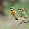 Little bee-eater Family<br /> Raymond Barlow Photo Tours to Tanzania Wildlife and Nature<br /> <br /> Book your tour - August 2017 Africa!<br /> ray@raymondbarlow.com<br /> Nikon D300 ,Nikkor 200-400mm f/4G ED-IF AF-S VR<br /> 1/640s f/4.5 at 400.0mm iso200