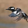 Hooded Merganser in Flight<br /> RJB Wild Birds of Ontario Workshops<br /> Nikon D800 ,Nikkor 200-400mm f/4G ED-IF AF-S VR<br /> 1/2000s f/4.0 at 400.0mm iso500