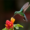 "Frozen in Flight<br /> <br /> The technical challenge for Photographers!<br /> <br /> To capture a hummingbird in flight, with little or no wing blur.  Personally, I like a bit of blur.  To me it just looks more natural.  I do not like flash for birds for this very reason., they simply look fake.<br /> <br /> When we are watching these birds buss around the flowers, our eyes and brains cannot be fast enough to freeze the wings, so a bit of blur is more natural.<br /> <br /> Once in a while, when I get lucky, the wings are caught in an almost still position, with a bit of blur.. as this image has those properties.<br /> <br /> Thanks for looking, I hope you will join me in Costa Rica some day!<br /> <br /> Green-crowned Brilliant Feeding<br /> RJB Colours of Costa Rica Tour<br />  <a href=""http://www.raymondbarlow.com"">http://www.raymondbarlow.com</a><br /> 1/1250s f/4.0 at 200.0mm iso640"