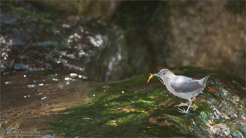 American Dipper - in Costa Rica<br /> Raymond's Costa Rica Photo Tours<br /> <br /> ray@raymondbarlow.com<br /> Nikon D300 ,Nikkor 200-400mm f/4G ED-IF AF-S VR<br /> 1/125s f/4.0 at 400.0mm iso500