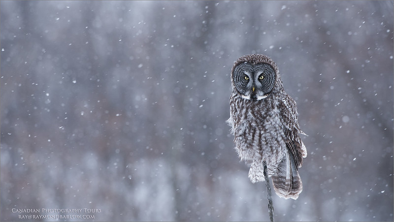 """Great grey Owl<br /> Raymond's Canada Nature Photography Tours<br /> <br />  <a href=""""http://www.raymondbarlow.com"""">http://www.raymondbarlow.com</a><br /> Nikon D810 ,Nikkor 200-400mm f/4G ED-IF AF-S VR<br /> 1/320s f/5.6 at 400.0mm iso500"""