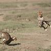 Cheetahs at Play Series 12 Shots  - Image 4-12