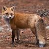 Red Fox<br /> Raymond's Ontario Nature Photography Tours<br /> <br /> Raymond's Fox Adventures!<br /> Nikon D810 ,Nikkor 200-400mm f/4G ED-IF AF-S VR<br /> 1/160s f/6.3 at 400.0mm iso2000