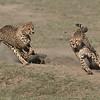 Cheetahs at Play Series 12 Shots  - Image 9-12