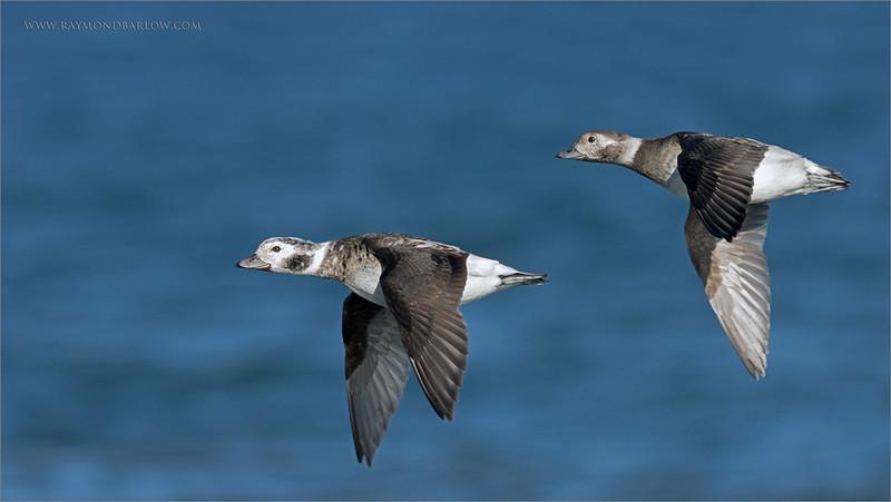 "Female Long-tailed ducks in Flight<br /> Burlington Ontario<br /> <br />  <a href=""http://www.raymondbarlow.com"">http://www.raymondbarlow.com</a><br /> Sony A7riv,Sony FE 100-400mm F4.5–5.6 GM OSS<br /> 1/3200s f/5.6 at 400.0mm iso640"