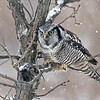"""Hungry Owl!<br /> <br /> Mitchell Brown and I arrived on the scene once again, to try for another cool shot of this amazing Northern Hawk owl. <br /> It was perched really high on a distant tree, so w waited!  Maybe an hour in the freezing cold.  Hoping for some sort of perched shot, with the nice snow falling, the bird came down to eye level on a neat perch for a visit.<br /> Amazing!  <br /> As it was hungry, we could see it struggling to dislodge the vole that was stored in the branches here.  I would say the struggle went on for at least 5 minutes before the owl gave up and heading off to the distant woods, out of sight.  so off for a coffee, and the drive home from there, listening to awesome music that Mitchell and I both enjoy.<br /> <br /> Special thanks to buddy Mitch, good fun as always!!<br /> <br /> Northern Hawk Owl and the Meal<br /> Ontario, Canada<br /> <br />  <a href=""""http://www.raymondbarlow.com"""">http://www.raymondbarlow.com</a><br /> Sony A7riv,Sony 100-400GM<br /> 1/800s f/5.6 at 318.0mm iso640"""