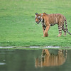 Royal Bengal Tiger with Reflection<br /> Raymond's India Photo Tours<br /> Our next tour - June 2016<br /> <br /> ray@raymondbarlow.com<br /> Nikon D800 ,Nikkor 200-400mm f/4G ED-IF AF-S VR<br /> 1/1600s f/4.0 at 400.0mm iso2500