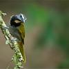 Buff-throated Saltator - Costa Rica
