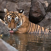"""#tiger #India #phototour<br /> <br /> A very heavy crop! But I think it was worth a try. Such an awesome animal!<br /> <br /> June 2015 tour is almost ready to go.<br /> <br /> Tiger in for a Drink!<br /> RJB India India Tours<br />  <a href=""""http://www.raymondbarlow.com"""">http://www.raymondbarlow.com</a><br /> 1/320s f/4.0 at 400.0mm iso800"""
