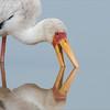Yellow-billed Stork in Tanzania