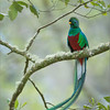 Resplendent Quetzal - Costa Rica<br /> Raymond's Costa Rica Photo Tours<br /> <br /> I went back to this folder from 3+ years ago, and found an image I felt like editing today.  Best regards to everyone.<br /> <br /> <br /> ray@raymondbarlow.com