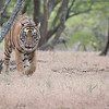 "Superb Tiger<br /> <br /> What an amazing site!  My first tour - hosting a group in India, trekking for tigers is unreal.. especially when you find one!  Thanks to my guides, hotel contacts, and friends here in India.<br /> <br /> Thanks to you for the +1's, shares, and nice comments.<br /> <br /> Join me during my future tours to India!<br /> <br /> Many thanks to Ranthambore Regency Hotel!<br /> <br /> Royal Bengal Tiger<br /> RJB India Tours<br />  <a href=""http://www.raymondbarlow.com"">http://www.raymondbarlow.com</a><br /> 1/50s f/4.0 at 250.0mm iso2500"