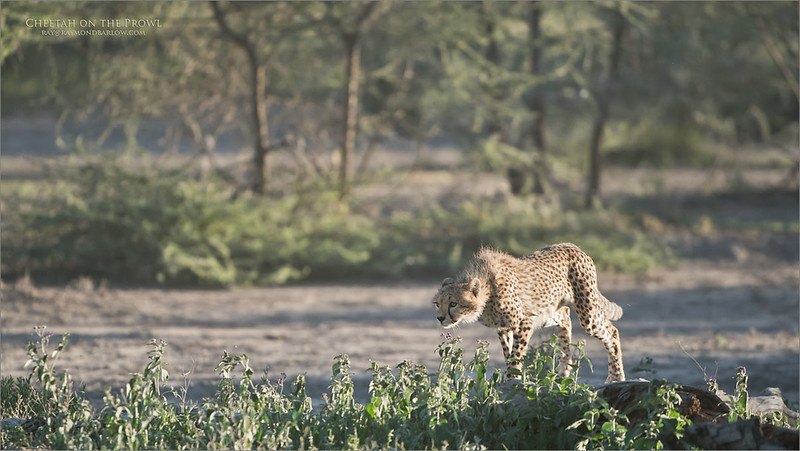 A young cheetah practices hunting on the plains of the Serengeti - Ndutu.<br /> Being there is so amazing, real wildlife, real nature and more the awesome!<br /> <br /> <br /> Cheetah Hunting - Tanzania<br /> Tanzania, Africa<br /> <br /> ray@raymondbarlow.com<br /> Nikon D850 ,Nikkor 200-400mm f/4G ED-IF AF-S VR<br /> 1/1250s f/4.0 at 380.0mm iso800