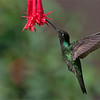 "Magnificent Hummingbird in Flight<br /> RJB Colours of Costa Rica Tour<br /> <br />  <a href=""http://www.raymondbarlow.com"">http://www.raymondbarlow.com</a><br /> 1/1600s f/4.0 at 270.0mm iso400"