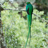 Nesting Quetzals<br /> <br /> On a remote farm in the mountains of Costa Rica, we find a pair of nesting Resplendent Quetzals taking care of their babies.<br /> <br /> Constantly returning to their nest provides us with the opportunity to enjoy nature with almost no disturbance.  These birds have been nesting on remote farms for many year, successfully maintaining<br /> their families along side the farmers and their cows.<br /> <br /> A clear view on this nest was golden for everyone, I hope to post more images of the actual nesting later on., a few flight shots too.<br /> <br /> This male was on guard, as their was an Emerald Toucanete<br /> nearby, preparing to invade the nest for a meal.<br /> <br /> Nature at it's best, respect, and learning is always fun!<br /> <br /> Resplendent Quetzal<br /> RJB Costa Rica Tours<br /> ray@raymondbarlow.com<br /> 1/160s f/6.3 at 400.0mm iso640