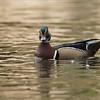 Wood duck<br /> Photo workshops