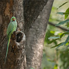 "A parakeet in India! <br /> <br /> We are having a good time in India, working hard to find a tiger!<br /> <br /> Food is great, the park is beautiful.. staying at the Ranthambore Regency Hotel, wonderful location!<br /> <br /> More images soon!<br /> <br /> Rose-ringed parakeet<br /> RJB India Tours<br />  <a href=""http://www.raymondbarlow.com"">http://www.raymondbarlow.com</a><br /> 1/500s f/5.6 at 330.0mm iso1250"