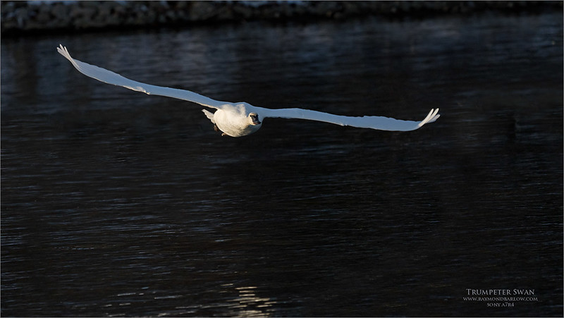 """Trumpeter Swan in flight<br /> Burlington Ontario<br /> <br /> Fun shooting today with the a7r4!<br /> <br />  <a href=""""http://www.raymondbarlow.com"""">http://www.raymondbarlow.com</a><br /> Sony a7r4,Sony FE 100-400mm F4.5–5.6 GM OSS<br /> 1/5000s f/5.6 at 400.0mm iso1000"""