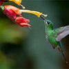 "A Wonder in Flight!<br /> <br /> These hummingbirds never fail to amazing me with their sense of flight and navigation skills!<br /> <br /> They tear around the garden in a crazy rush to get to each destination, in a frantic pace that is hard to imagine!  The colour and speed is unbelievable!<br /> <br /> Thanks for looking, have a great weekend!<br /> <br /> <br /> Green-crowned Brilliant Female in Flight<br /> RJB Colours of Costa Rica Tour<br />  <a href=""http://www.raymondbarlow.com"">http://www.raymondbarlow.com</a><br /> 1/640s f/4.0 at 200.0mm iso640"